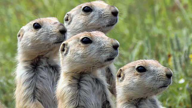 New Study Finds That Prairie Dogs Have Their Own Language